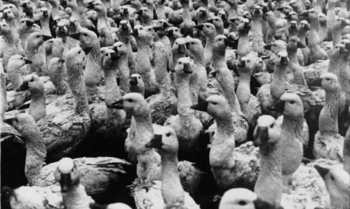 Le gavage des oies pour les fêtes, « un supplice qui rappelle la torture »